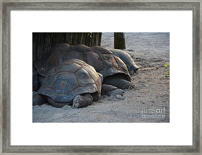 Framed Print featuring the photograph Giant Tortise by Robert Meanor