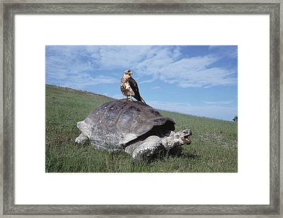 Giant Tortoise And Galapagos Hawk Framed Print by Tui De Roy