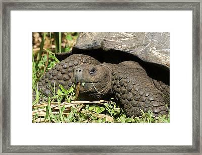 Giant Tortoise At El Rancho Manzanillo Framed Print by Diane Johnson