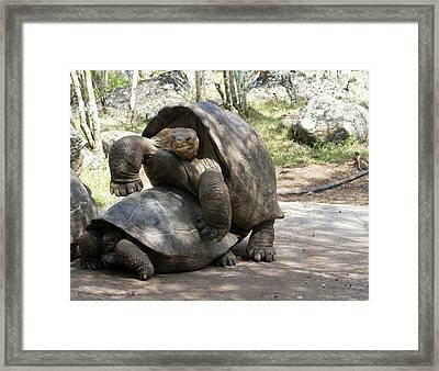 Giant Tortoises With Mating Behavior Framed Print by Diane Johnson