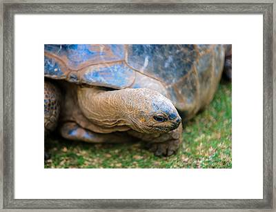 Giant Turtle In The Pamplemousse Botanical Garden. Mauritius Framed Print