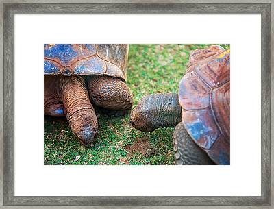 Giant Turtles In The Pamplemousse Botanical Garden. Mauritius Framed Print
