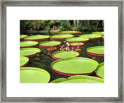 Giant Water Lily Platters Framed Print by Zina Stromberg