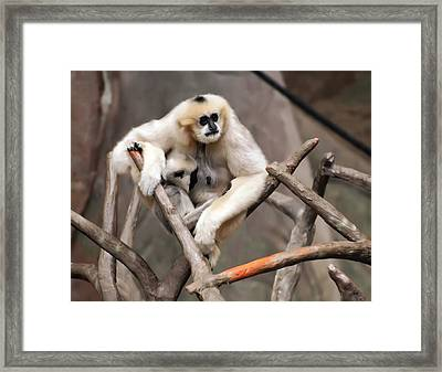 Gibbon Nursing Its Baby Framed Print by Chris Flees