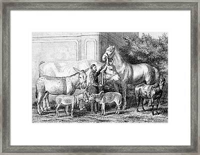 Gigantism And Dwarfism In Farm Animals Framed Print by Bildagentur-online/tschanz
