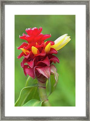 Ginger Flower, Kula Botanical Garden Framed Print
