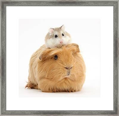 Ginger Guinea Pig And Roborovski Hamster Framed Print