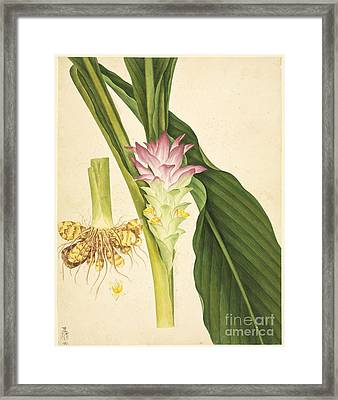 Ginger (zingiber Officinale), Artwork Framed Print by Natural History Museum, London