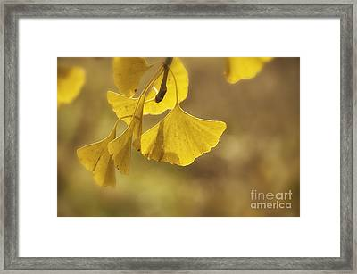 Gingko Gold Framed Print by Terry Rowe