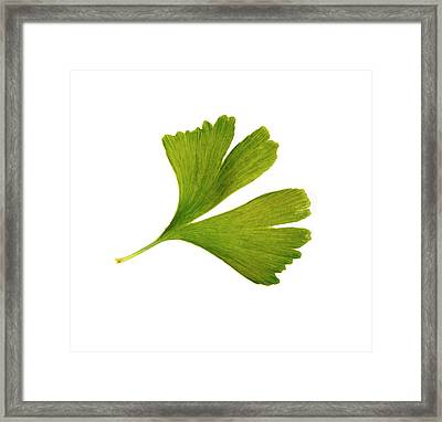 Ginkgo Biloba Leaf Framed Print