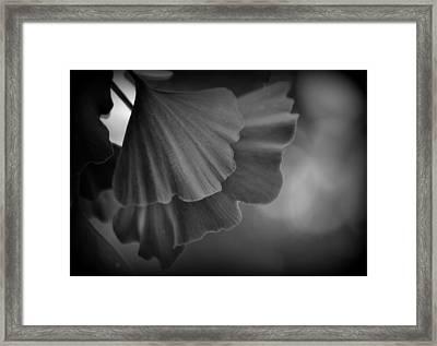 Ginkgo Biloba Leaves Framed Print by Nathan Abbott