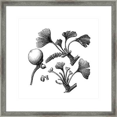 Ginkgo Biloba Framed Print by Nastasic