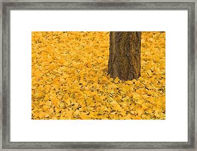 Ginkgo Bliss  2 Framed Print by Rachel Cohen
