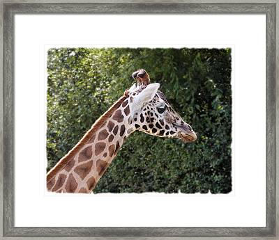 Framed Print featuring the photograph Giraffe 01 by Paul Gulliver