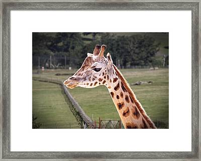 Framed Print featuring the photograph Giraffe 02 by Paul Gulliver