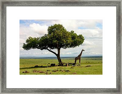 Giraffe And The Lonely Tree  Framed Print by Menachem Ganon
