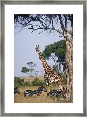 Giraffe And Zebras Framed Print