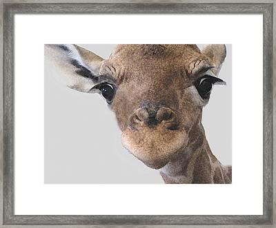 Giraffe Baby Framed Print