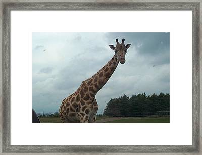 Framed Print featuring the photograph Giraffe by Barbara McDevitt