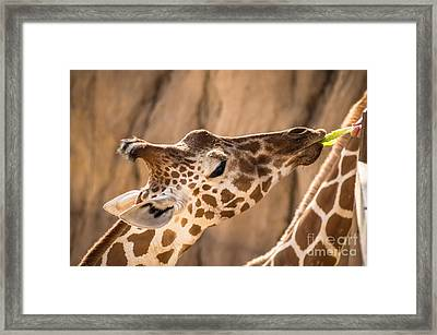 Giraffe Being Hand Fed Framed Print by Imagery by Charly