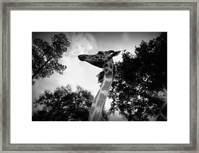 Giraffe Bw - Global Wildlife Center Framed Print