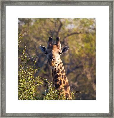 Giraffe Framed Print by Craig Brown