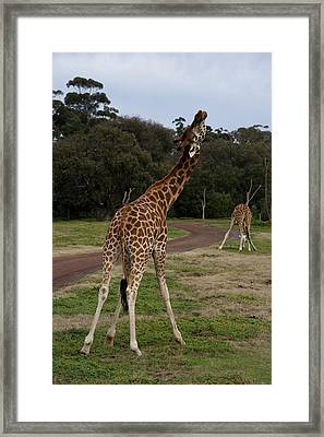 Giraffe Dance Framed Print by Graham Palmer