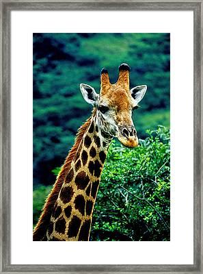 Framed Print featuring the photograph Giraffe by Dennis Cox WorldViews