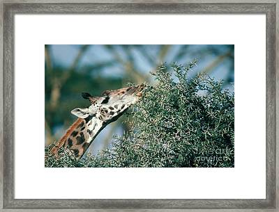 Giraffe Eating Acacia Framed Print by Gregory G. Dimijian, M.D.