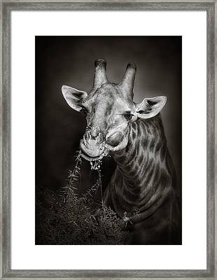 Giraffe Eating Framed Print