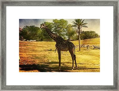 Giraffe Framed Print by Fred Larson