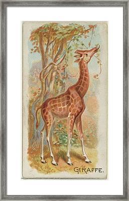 Giraffe, From The Quadrupeds Series N21 Framed Print by Allen & Ginter