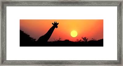 Giraffe Giraffa Camelopardalis Framed Print by Panoramic Images