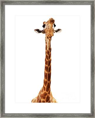 Giraffe Head Isolate On White Framed Print by Mythja  Photography
