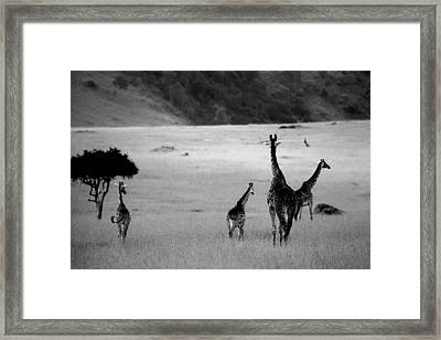 Giraffe In Black And White Framed Print by Sebastian Musial