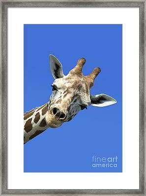 Giraffe Framed Print by John Greim