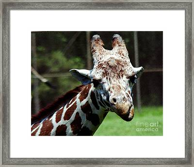 Framed Print featuring the photograph Giraffe Looking by Tom Brickhouse
