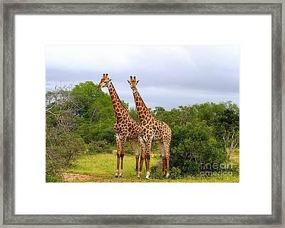 Giraffe Males Before The Storm Framed Print