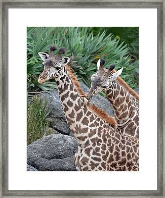Giraffe Massage Framed Print