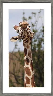 Giraffe Neck And Teeth Framed Print
