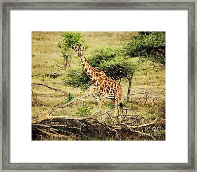 Giraffe On African Savanna Framed Print by Michal Bednarek