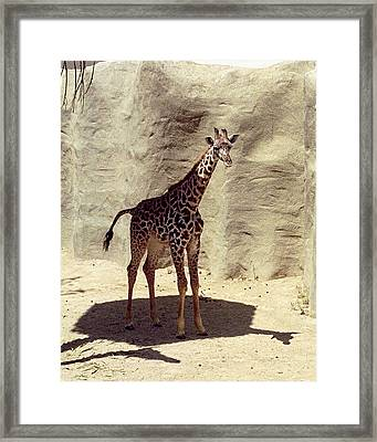 Framed Print featuring the photograph Giraffe by Philomena Zito