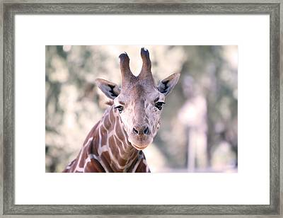 Framed Print featuring the pyrography Giraffe Staring  by Shoal Hollingsworth