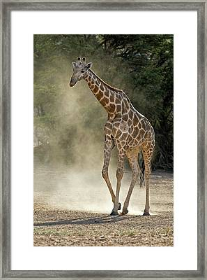 Giraffe Walking In The Kalahari Framed Print by Tony Camacho