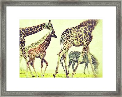 Framed Print featuring the photograph Giraffes And A Zebra In The Mist by Nick  Biemans