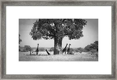 Giraffes And Baobab Tree Framed Print by Chris Scroggins
