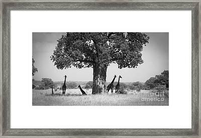 Giraffes And Baobab Tree Framed Print