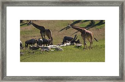 Giraffes And Wildebeest African Safari Framed Print by Dan Sproul