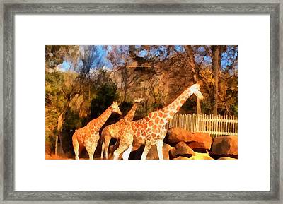 Giraffes At The Zoo Framed Print by Dan Sproul