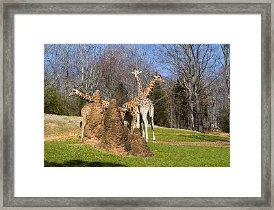Giraffes By Termite Mound Framed Print by Chris Flees